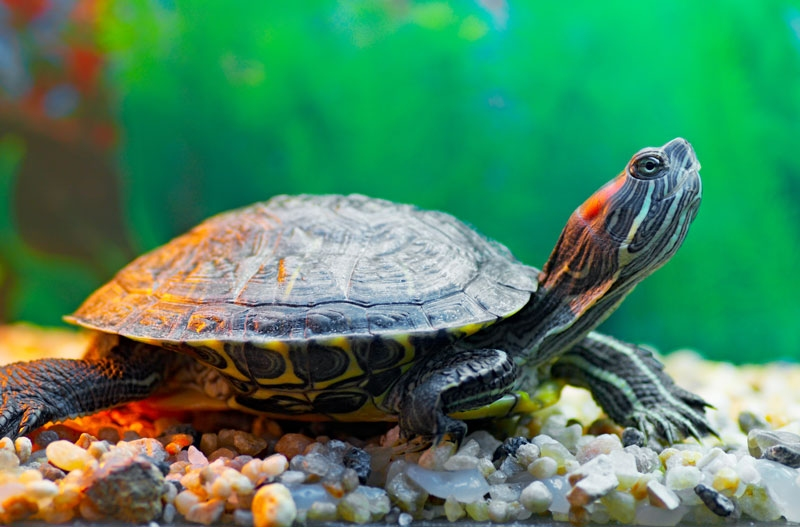 Keeping Your Turtle Healthy - Greek and Associates